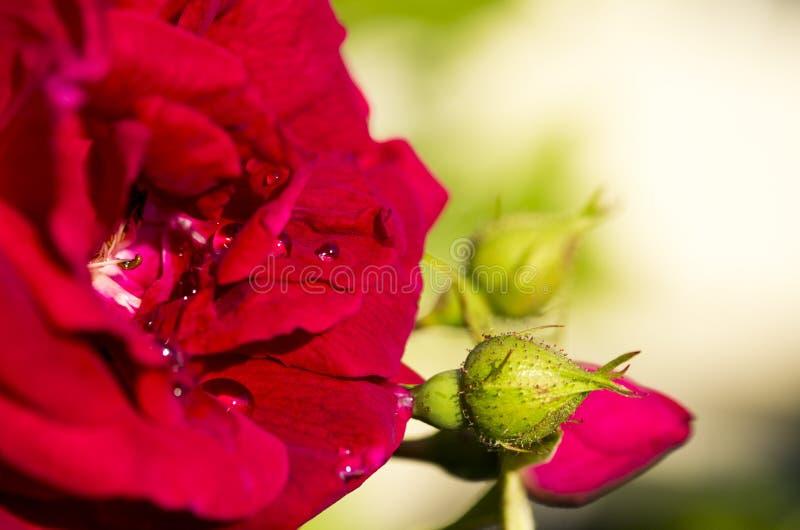 Droplets och kommande blommor arkivfoton