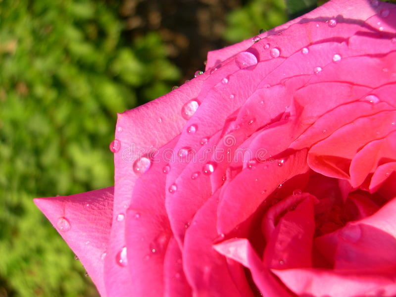 Droplets on rose royalty free stock images