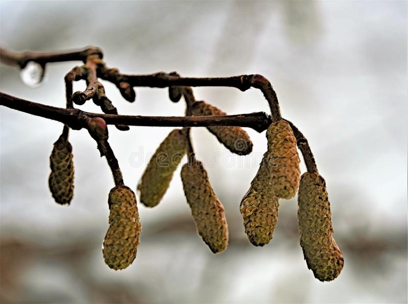 Droplets of water on a sprig of wild willow catkins. royalty free stock images