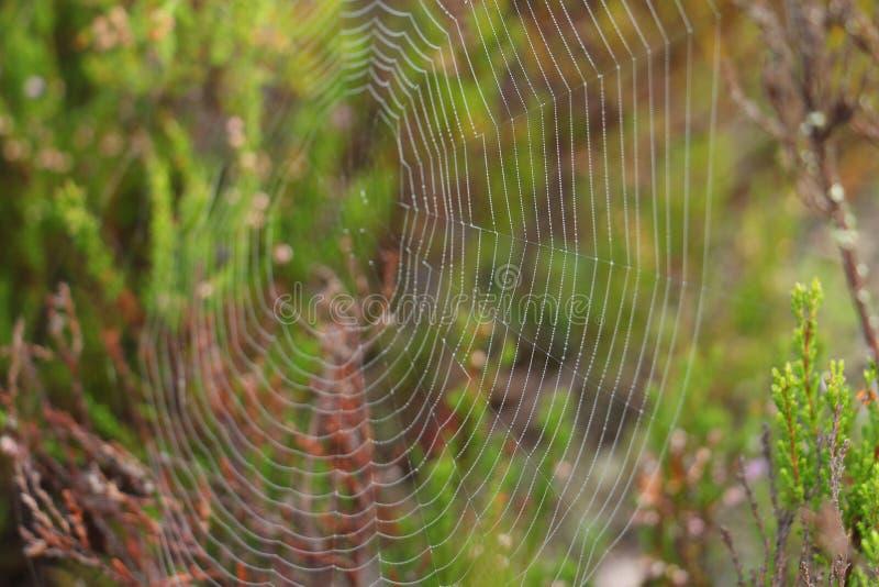 Droppar av dagg på en rengöringsduk för spindel` s royaltyfria bilder