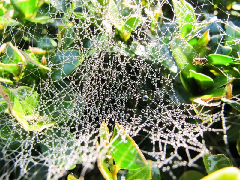 Droppar av dagg på spindelnätet arkivfoto