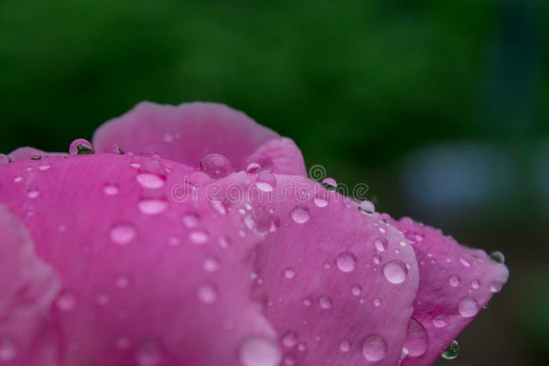 Droppar av regn på de vikta rosa kronbladen av en ros blommar, stänger sig upp royaltyfria bilder