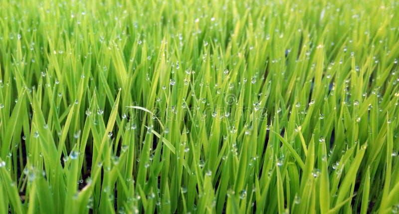 Droppar av vatten på gräset i morgonen arkivbild