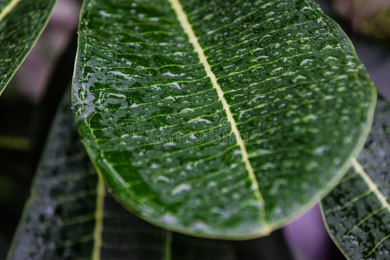 Droppar av vatten på gröna sidor, Regnvatten lämnade på frangipanisidorna, atmosfär efter regn, Plumeriaträd I regnet arkivbild