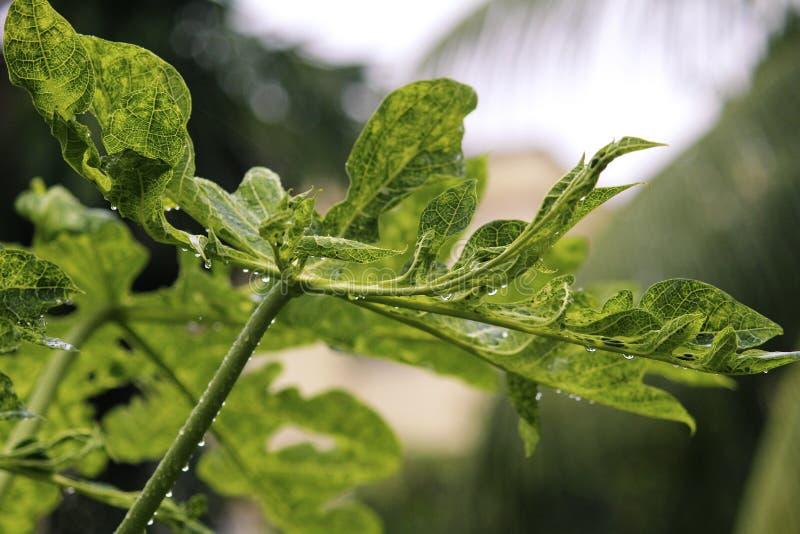 Droppar av vatten som faller från sidor av ett papayaträd arkivbild