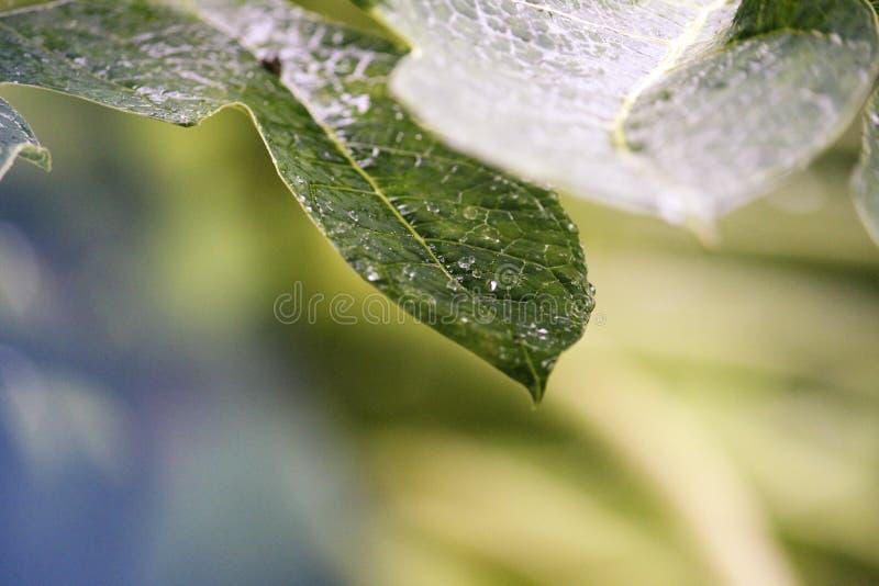 Droppar av vatten som kristaller som faller från ett blad royaltyfri fotografi