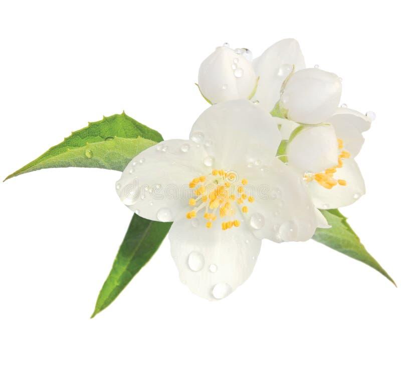 droppar för dagg för blomningcloseupcoronarius blommar isolerad jasmin l vildblommar för buske för regn för philadelphus för lewi fotografering för bildbyråer
