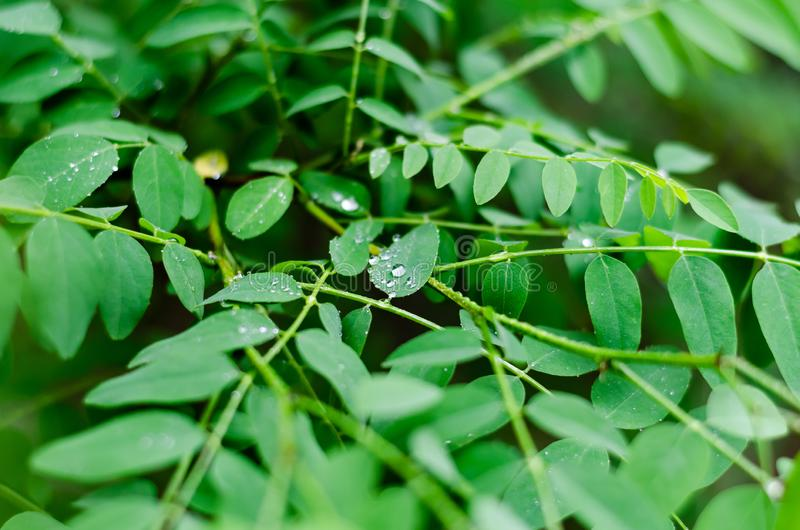 Droppar för vårregn på de frodiga gröna sidorna av akacian N?rbild Selektiv brytning arkivfoton