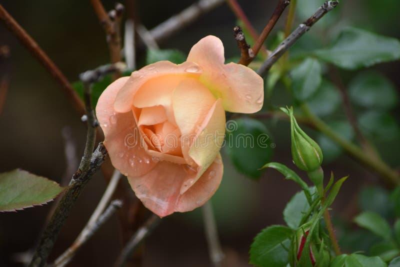 droppar rain rose royaltyfria bilder