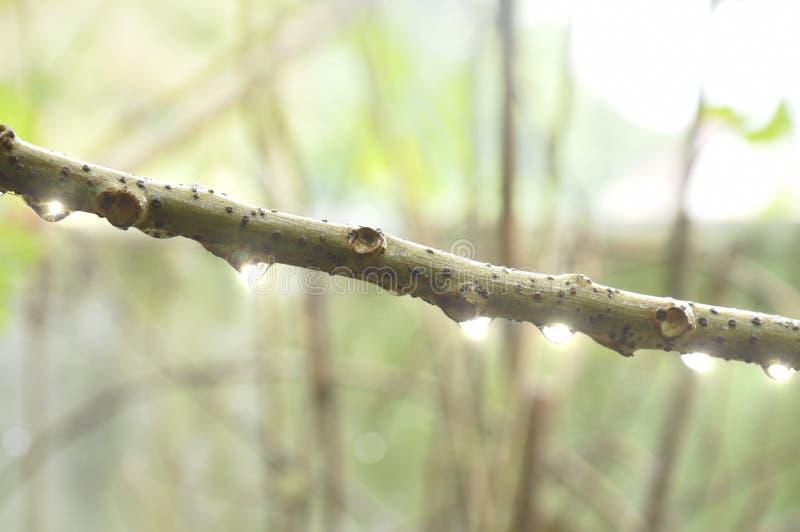 Droppe av vatten på stjärnakrusbärfilial i trädgård arkivfoton