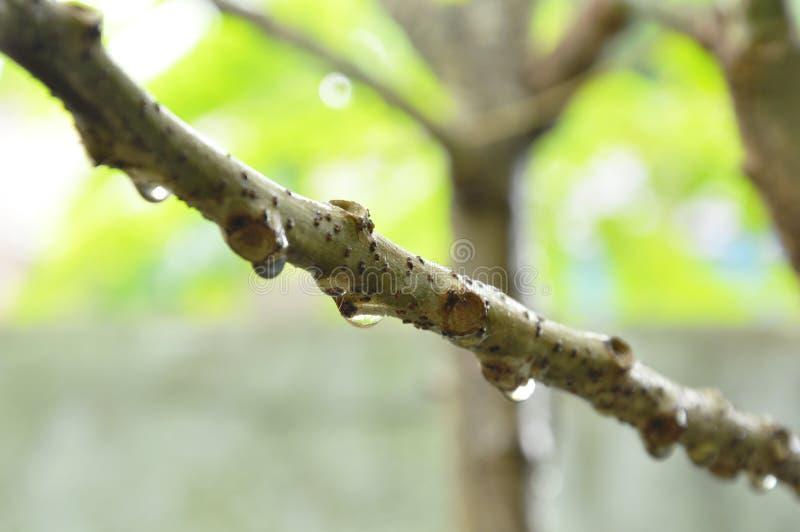 Droppe av vatten på stjärnakrusbärfilial i trädgård royaltyfria foton