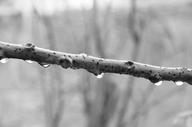 Droppe av vatten på stjärnakrusbärfilial i trädgård med monokrom signal arkivbilder
