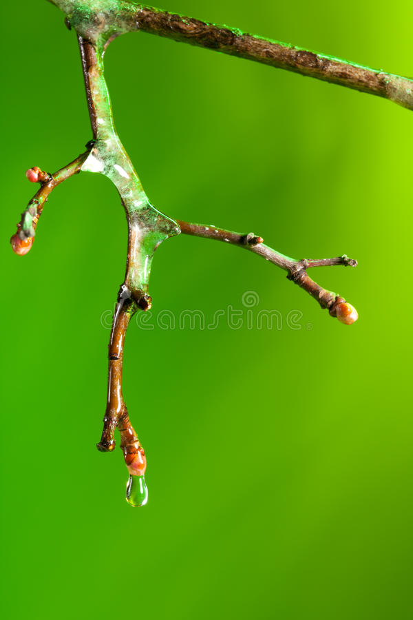 Dropping water from a frozen twig