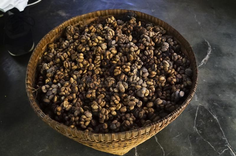 Droppings of luwak Civet used to make Coffee in Bali, Indonesia. Picture of the droppings of Luwak, a native civet cat that is used to make strong delicious stock photo