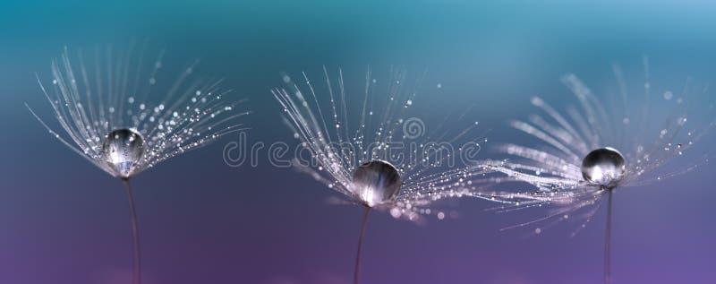 Drops on dandelion seeds. Three beautiful macro dandelions. stock photography
