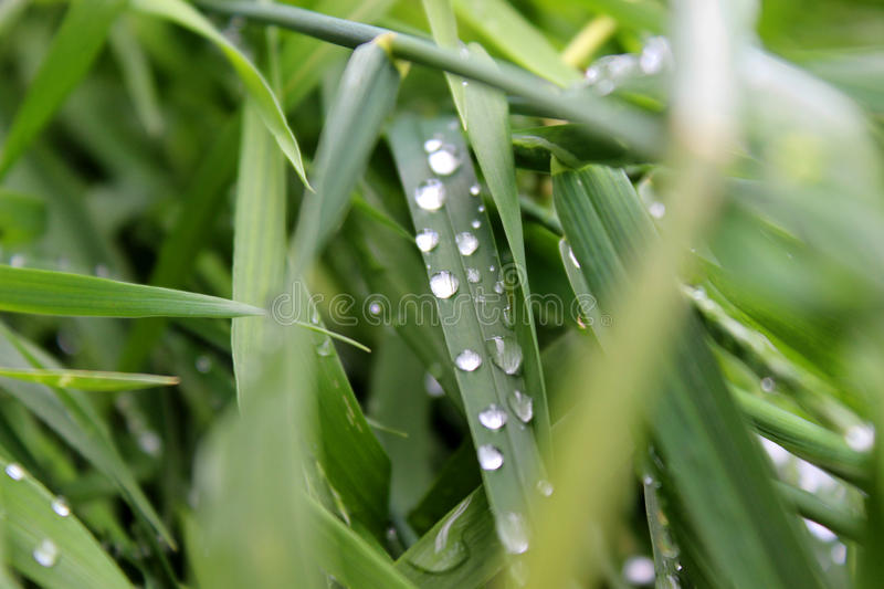 Drops of dew royalty free stock photo