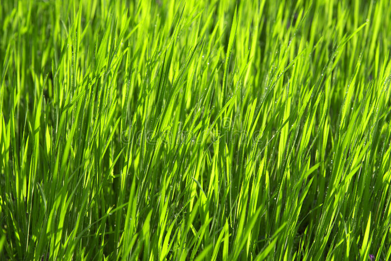 Download Drops Of Dew On The Green Grass. Stock Photo - Image of beautiful, green: 31942626
