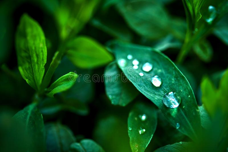 Drops of dew on green leaves in the early summer morning. Small drops of dew on green leaves in the early summer morning at close range macro photography stock photo