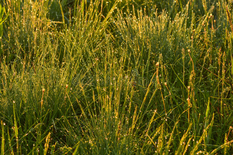 Drops of dew on the morning grass in the setting sun stock photo