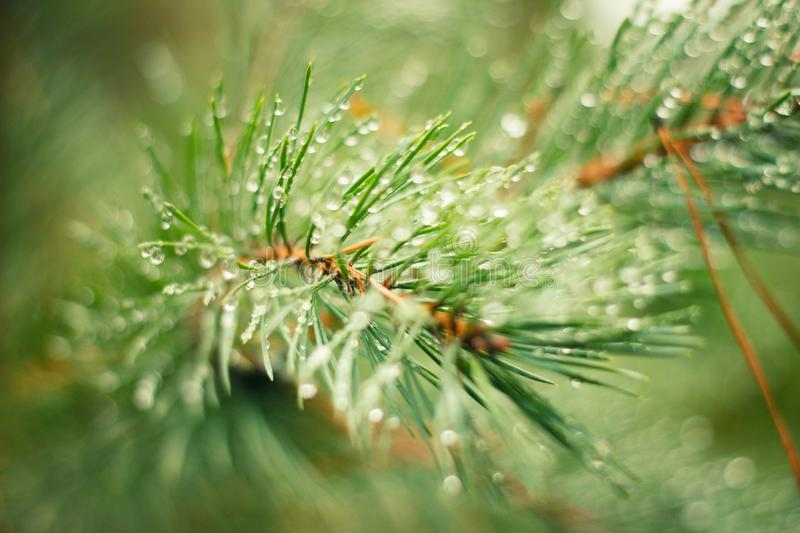 Drops of dew on Spruce branches stock photography