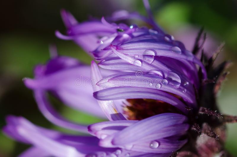 Drops of Early Morning Dew Resting on the Fresh Violet Wildflower stock photos