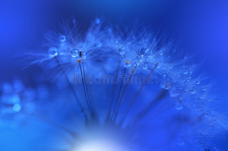Dandelion Background Closeup.Tranquil Abstract Art Photography.Artistic Wallpaper.Fantasy Design.Blue Nature Background.Daisy,drop stock photos