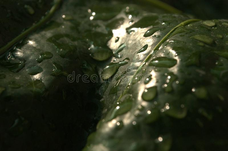 Drops in the leaf stock photography