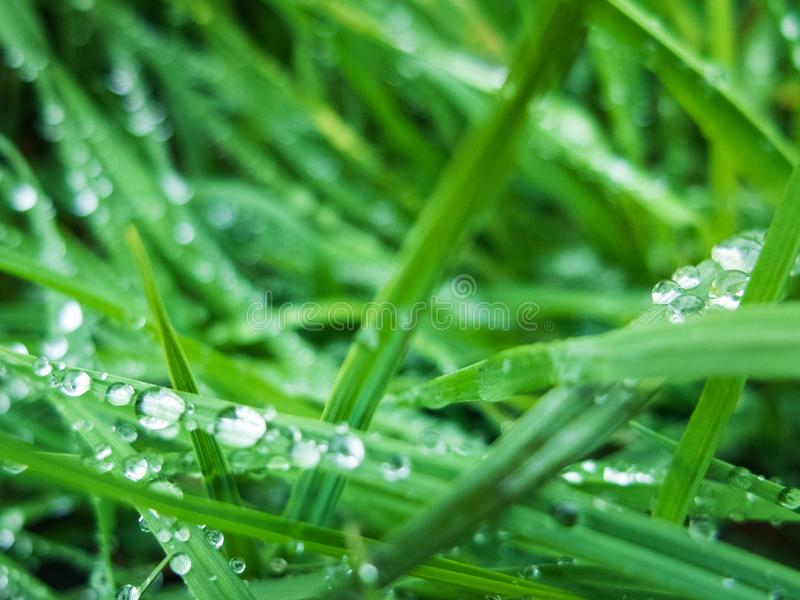 Drops of morning dew on the green grass.  stock images
