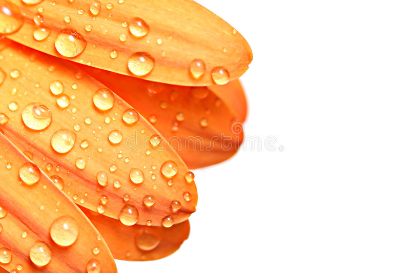Download Drops On Petal Royalty Free Stock Images - Image: 1528129
