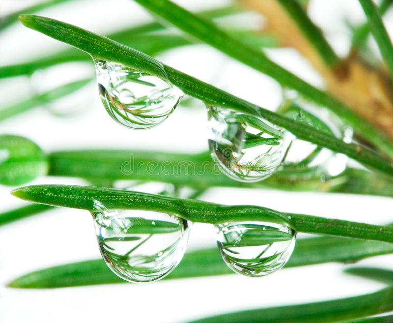 Download Drops on pine-tree stock photo. Image of damp, moist, celebration - 1414172