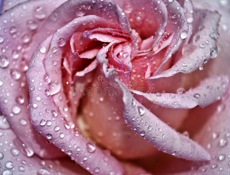 Download Drops on a pink rose stock photo. Image of love, flowers - 14581328