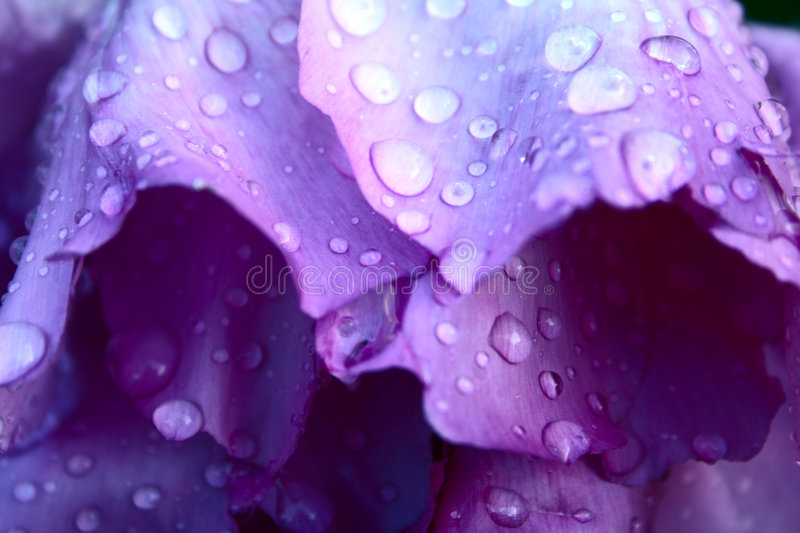Drops on pion petals stock images