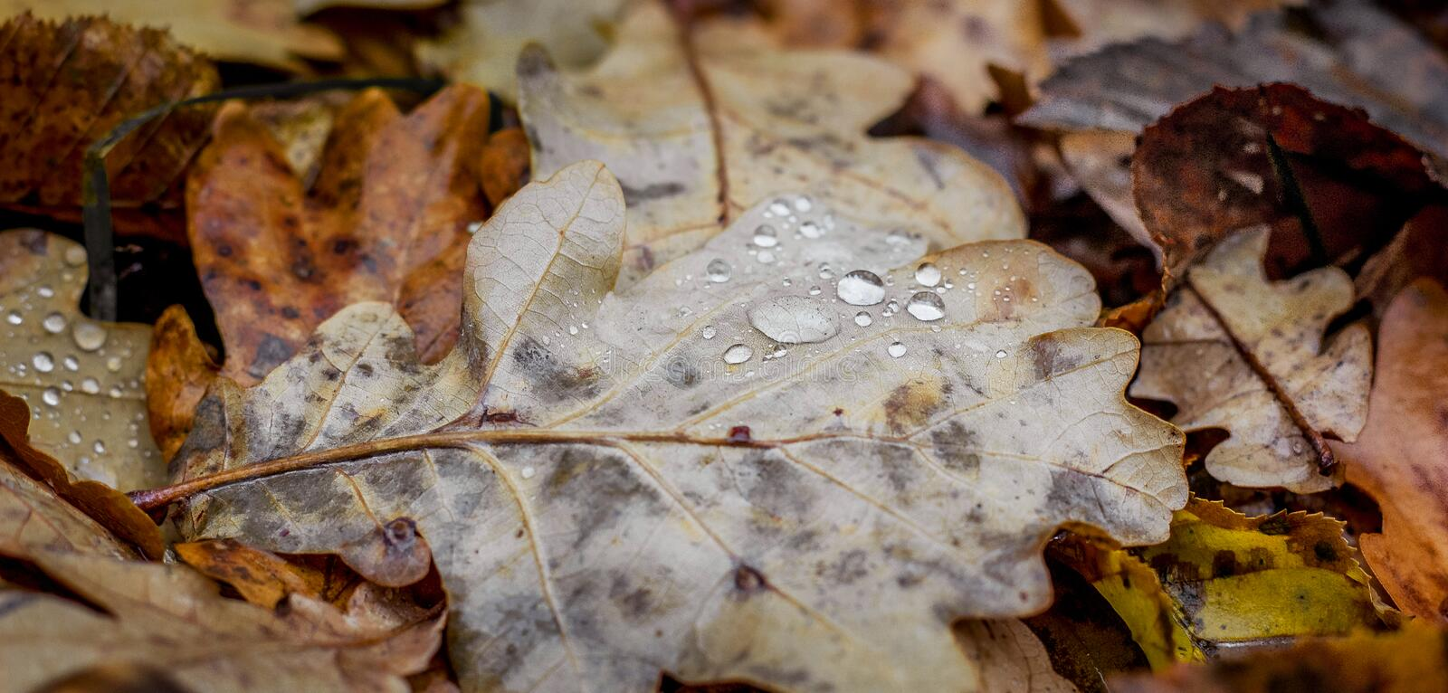 Drops of rain on an oak leaf. Autumn dry leaves on the ground_ royalty free stock photography