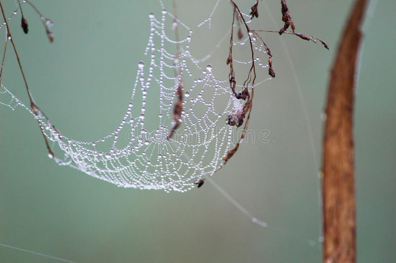 Drops on the Spider`s web. stock image