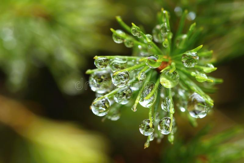 Drops on spruce. Fresh green spruce branch with raindrops royalty free stock photos
