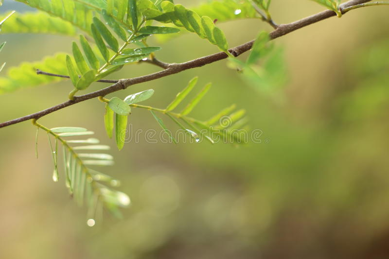 Drops of water clinging to the leaves and tamarind. Thailand stock photography