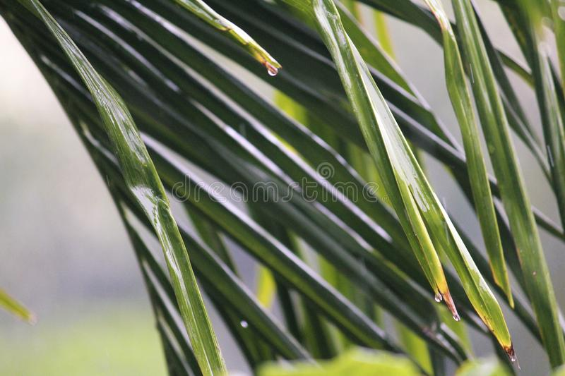 Drops water falling from coconut tree leaves stock image