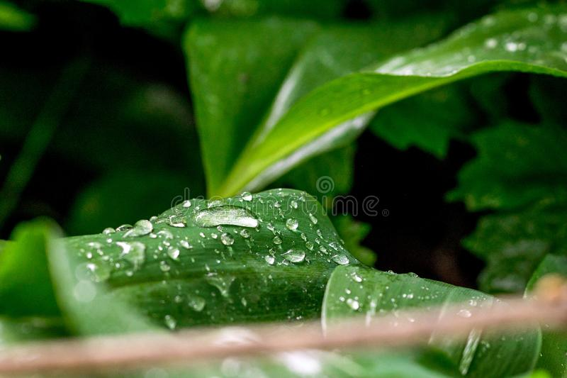 Drops of water on the green leaves of lilies of the valley. Blurred background. Macro royalty free stock photos