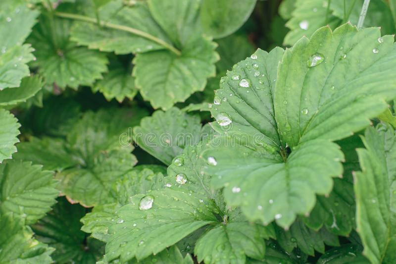 Drops of water on green leaves of strawberries after rain. In garden in morning, strawberry, background, fresh, leaf, nature, summer, macro, color, growth royalty free stock photography