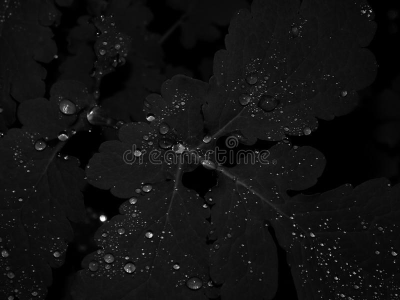Drops of water on leaves on a black and white photo. Water droplets on the leaves of a plant on a black and white photo royalty free stock image