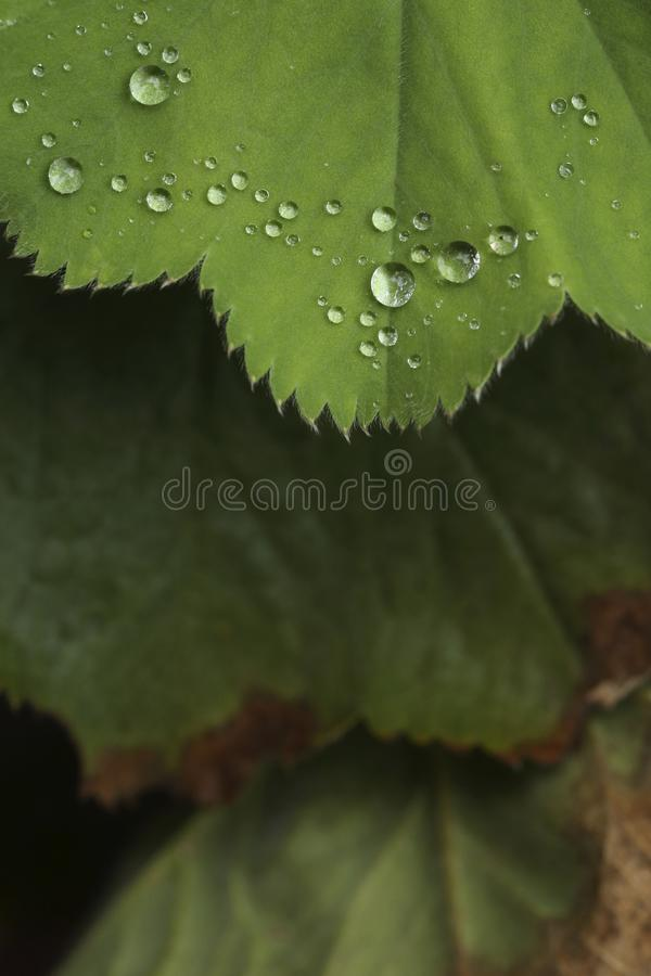 Drops of water on leaves of the plant Alchemilla. Closeup of the drops of water on the leaves of a plant after heavy rainfall. The species of plant is Alchemilla royalty free stock images