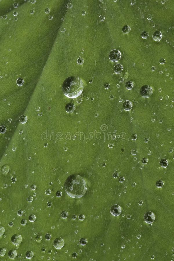 Drops of water on leaves of the plant Alchemilla. Closeup of the drops of water on the leaves of a plant after heavy rainfall. The species of plant is Alchemilla stock photo