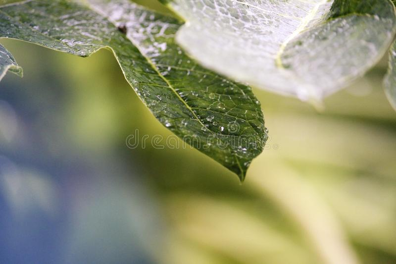 Drops of water like crystals falling from a leaf royalty free stock photography