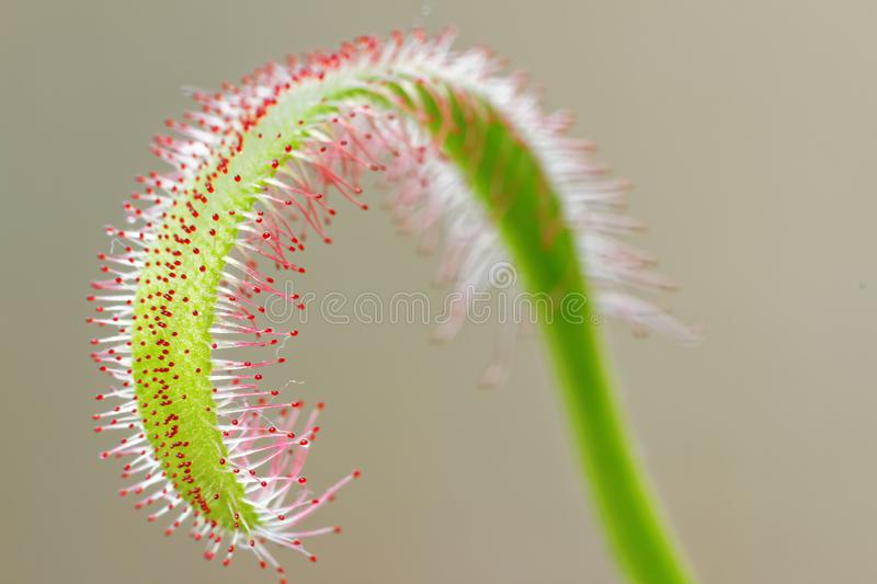 Drosera capensis leaf royalty free stock photos