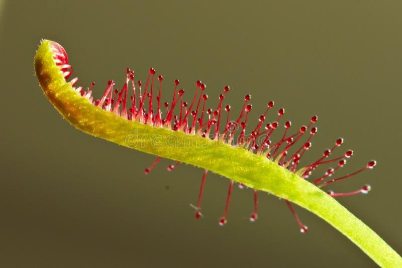 Drosera capensis, przylądek rosiczka, owadożerna roślina zdjęcie royalty free