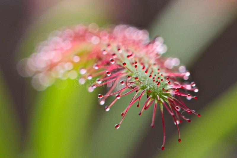 Drosera capensis, przylądek rosiczka, owadożerna roślina fotografia stock