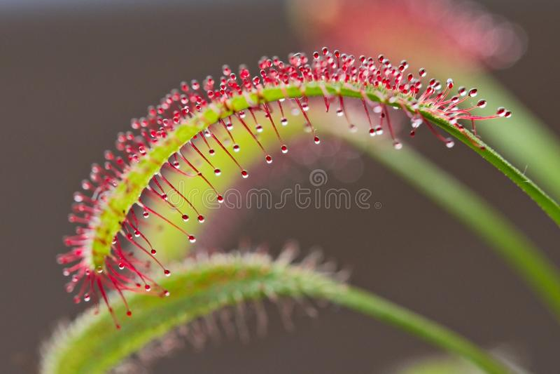 Drosera capensis, przylądek rosiczka, owadożerna roślina obraz royalty free
