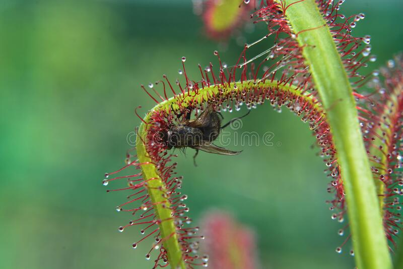 Drosera Capensis var Rubra and Fly. Sundew Carnivore. Predatory plant, Carnivorous Plant. stock images