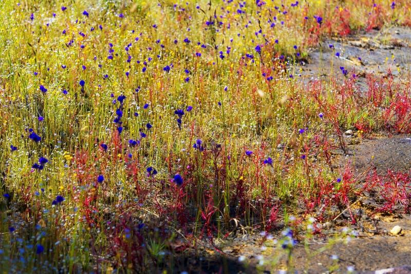 Drosera indica e Utricularia foto de stock