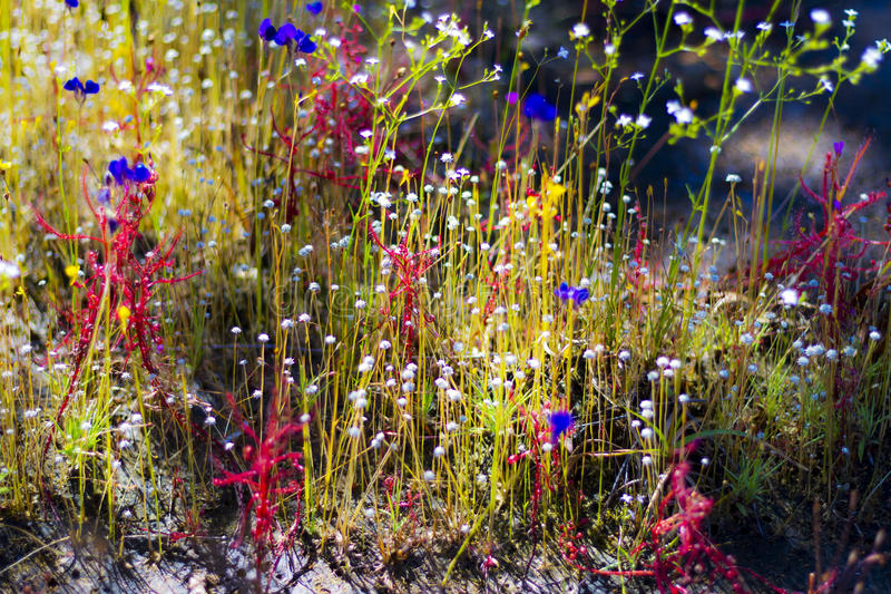 Drosera Linn indica bokeh bonito com o Utricularia bifida foto de stock